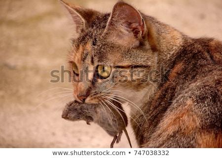 black and white european short hair cat Stock photo © eriklam
