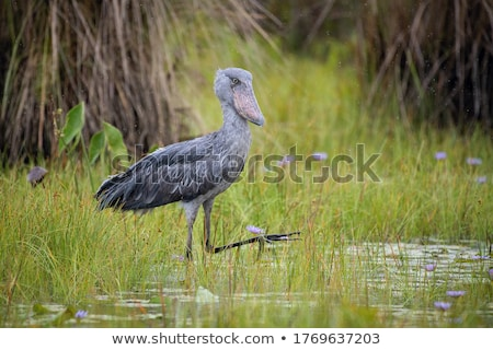 billed stork Stock photo © jonnysek