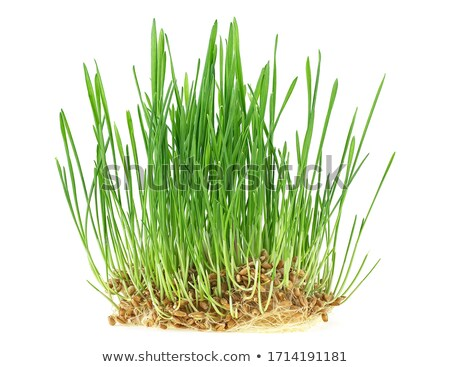 Young wheat sprouts Stock photo © hraska
