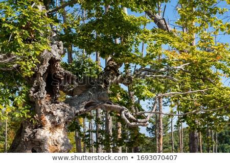 古い ツリー 自然 緑 根 ストックフォト © Bertl123