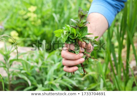 Stock photo: Wild Mint