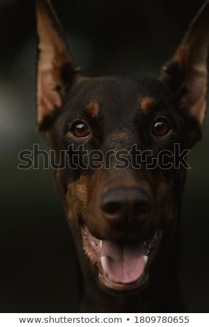 犬 耳 かわいい 茶色の犬 座って 私道 ストックフォト © rhamm