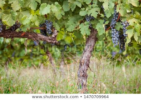 grapevine trunk Stock photo © prill