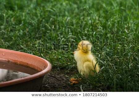 dear duck Stock photo © thomaseder