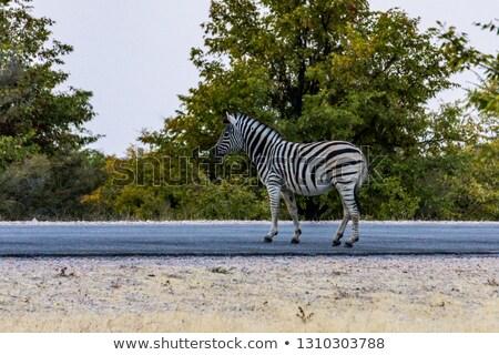 Zebra kavicsút park Namíbia baba portré Stock fotó © michaklootwijk