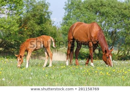horses feeding outdoors stock photo © amok