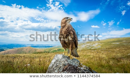 Buzzard is hunting in the wild. Stock photo © justinb
