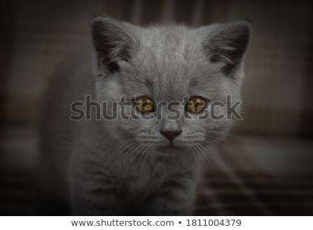 Britânico pequeno gatinho bonitinho animal de estimação colorido Foto stock © JanPietruszka