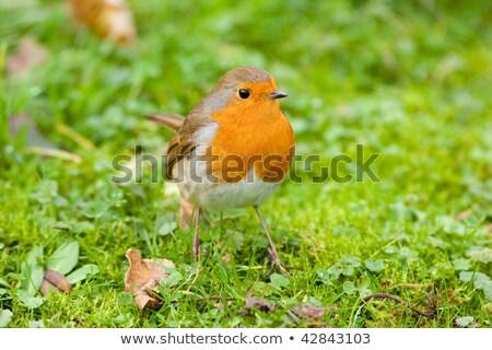зеленая трава оранжевый груди птица Сток-фото © rekemp