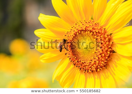 Mel de abelha girassol macro abelha néctar Foto stock © stevanovicigor