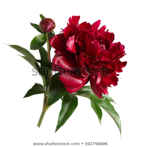 Stock photo: beautiful red peony isolated on white