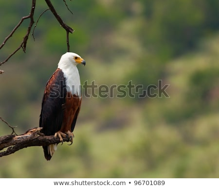 African fish eagle (Haliaeetus vocifer) perched in a dead tree Stock photo © davemontreuil