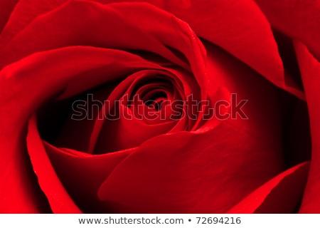Stockfoto: Donkere · Rood · rose · macro · water