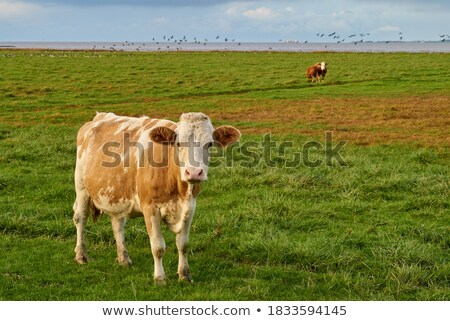 curious cow at coast stock photo © olandsfokus