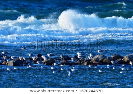 juvenile caspian gull in flight Stock photo © taviphoto