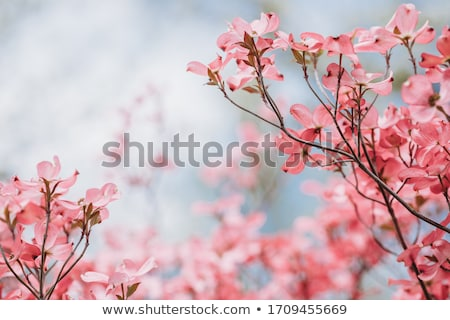Cornus pink flowers Stock photo © AlessandroZocc