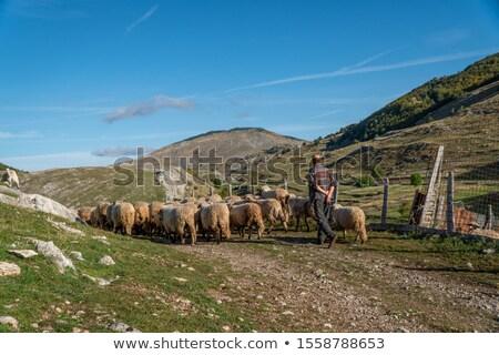 子羊 羊 小さな 国 屋外 ほ乳類 ストックフォト © phbcz