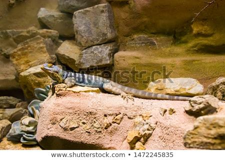 pequeno · rocha · lagarto · fundo · pedra · cor - foto stock © radub85