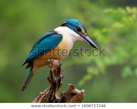 Sacred Kingfisher Stock photo © bluering