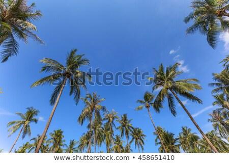 Cocotero árbol grupo cielo azul verano naturaleza Foto stock © FrameAngel