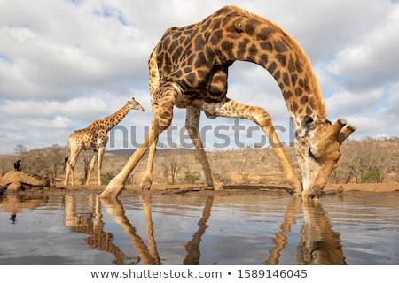 Zürafa içme kuru mevsim su çim Stok fotoğraf © marcrossmann