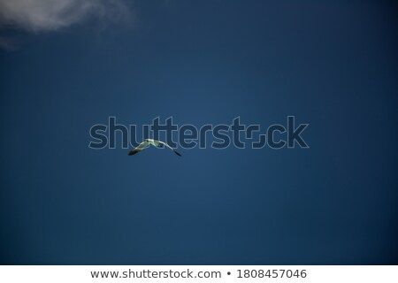 seagull flies through blue sky stock photo © papa1266