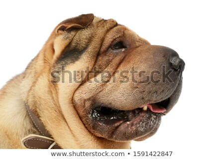 Stock photo: Shar pei portrait  in the white studio looking right