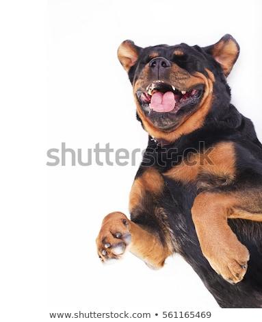 Stock photo: Rottweiler lying in the white studio floor