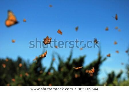 Színes pillangók repülés kert illusztráció rózsa Stock fotó © bluering