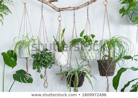 Cserepes növény akasztás fal illusztráció természet háttér Stock fotó © bluering