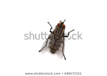 Black fly on white Stock photo © dvarg
