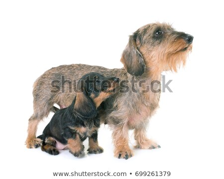Zdjęcia stock: Szczeniak · matka · jamnik · biały · psa · mleka