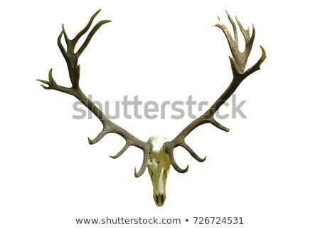 huge red deer skull with beautiful antlers Stock photo © taviphoto
