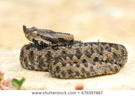 juvenile sand viper resting on a rock Stock photo © taviphoto