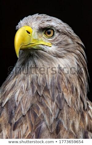 portrait of isolated white tailed eagle Stock photo © taviphoto
