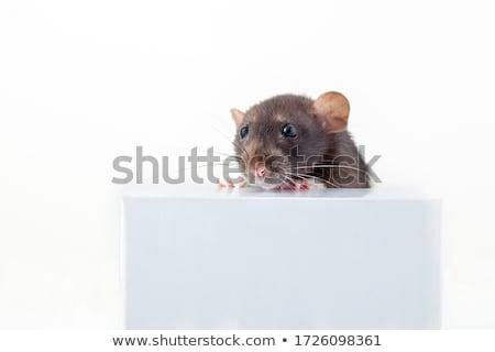 gray rat peeking out of the box  Stock photo © OleksandrO