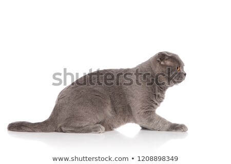 side view of cute grey scotish fold cat lying Stock photo © feedough