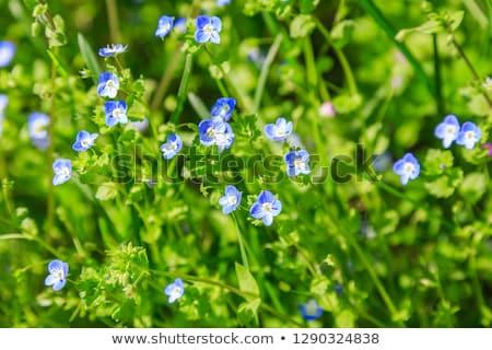 Bloem Blauw natuurlijke groen gras bokeh uitstekend Stockfoto © artush
