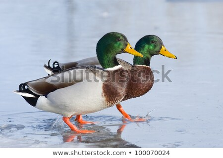 Hen Mallard Duck on Ice stock photo © mackflix