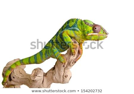 colorido · lagarto · branco · isolado · verde · azul - foto stock © angelsimon