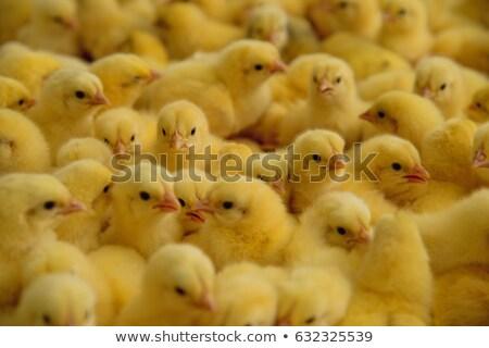 Bebek tavuk farklı pozisyonları yalıtılmış yansıma Stok fotoğraf © lightkeeper