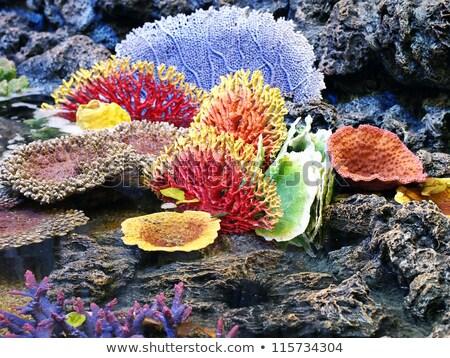 Stock fotó: Fire Coral In A Sea Fan In The Red Sea