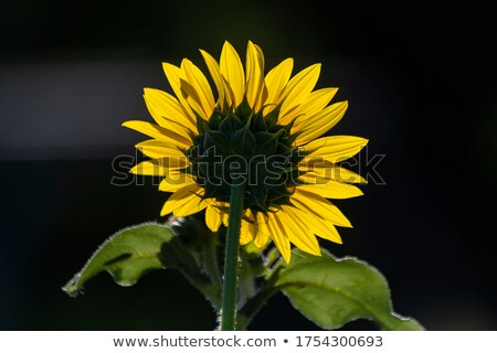 Full bloom sunflowers backlit by sun in a garden Stock photo © mnsanthoshkumar