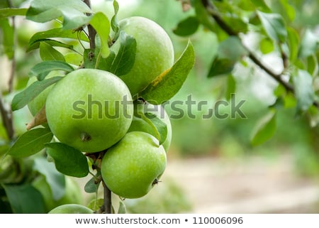 green apples on tree Stock photo © chrisroll