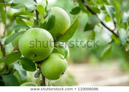 almafa · ág · gyümölcs · kicsi · zöld · almák - stock fotó © chrisroll