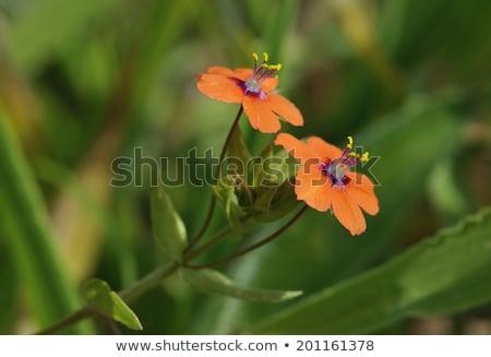 Flor natureza verão vermelho cor inglaterra Foto stock © chris2766