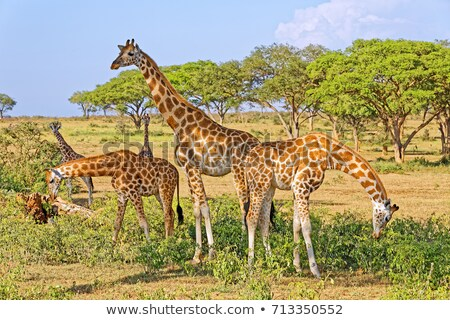 african · elefantii · mers · parc · Kenia · iarbă - imagine de stoc © ajlber