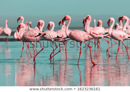 group of flamingos horizontally stock photo © frank11