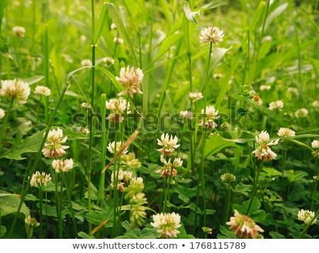 Biały koniczyna dziedzinie gęsty kwiat rozwój Zdjęcia stock © Anterovium