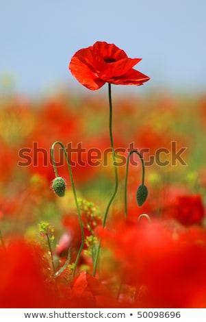 Overgrown Poppies Stock photo © naffarts